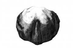 Kastanie/Chestnut (castanea), Kugelschreiberzeichnung/Ballpoint pen drawing A3, 2003