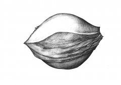 Kirsche Samen/Cherry Seed (Prunus cerasus). Kugelschreiber Zeichnung/Ballpoint Pen Drawing A3 2001