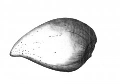 Mandel Samen/Almond Seed (Prunus dulcis) Kugelschreiber Zeichnung/Ballpoint Pen Drawing A3, 2002