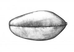 Weizen Samen/Wheat Seed (Triticum aestivum). Kugelschreiber Zeichnung/Ballpoint Pen Drawing A3, 2001